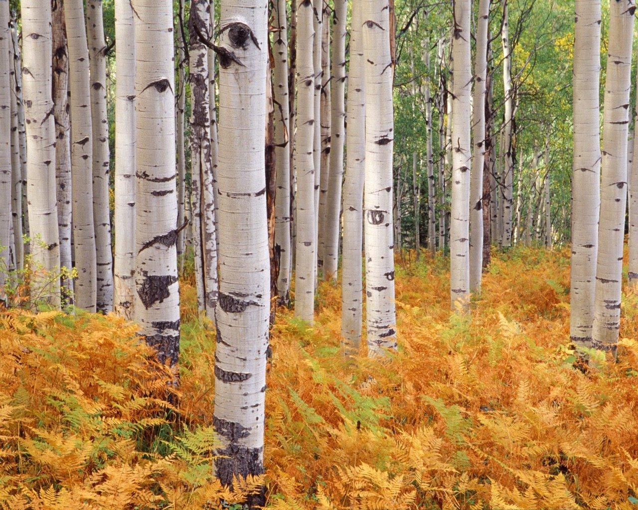 Wallpaper wood birch autumn trees wallpapers nature   download 1280x1024