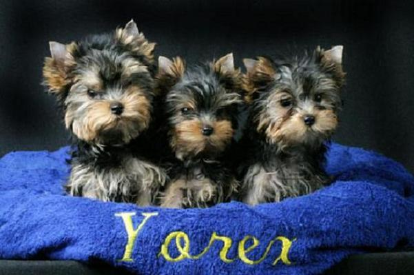 Images Yorkshire Terrier   The Dog Wallpaper   Best The Dog Wallpaper 601x399