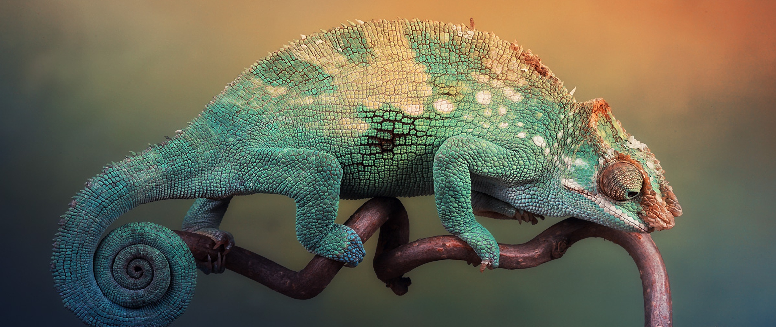 Wallpaper 2560x1080 chameleon handsome lizard branch sit 2560x1080 2560x1080