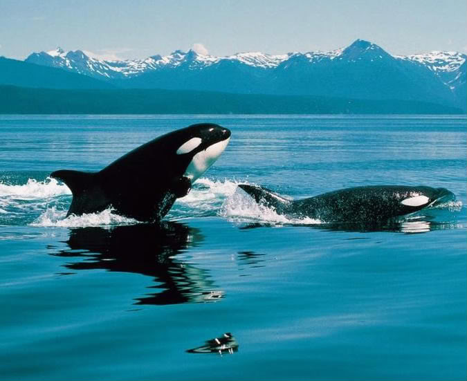 Killer Whale Wallpaper Orca whales 675x551