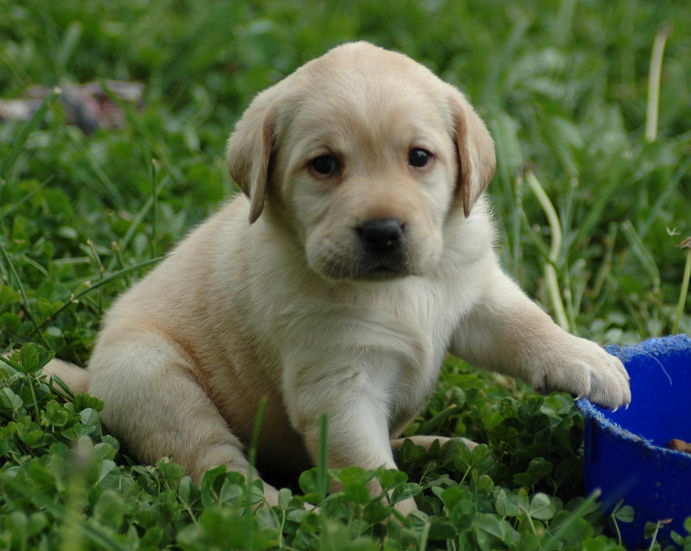 Yellow labrador retriever puppy for sale   mdh trading and services 2360x1884