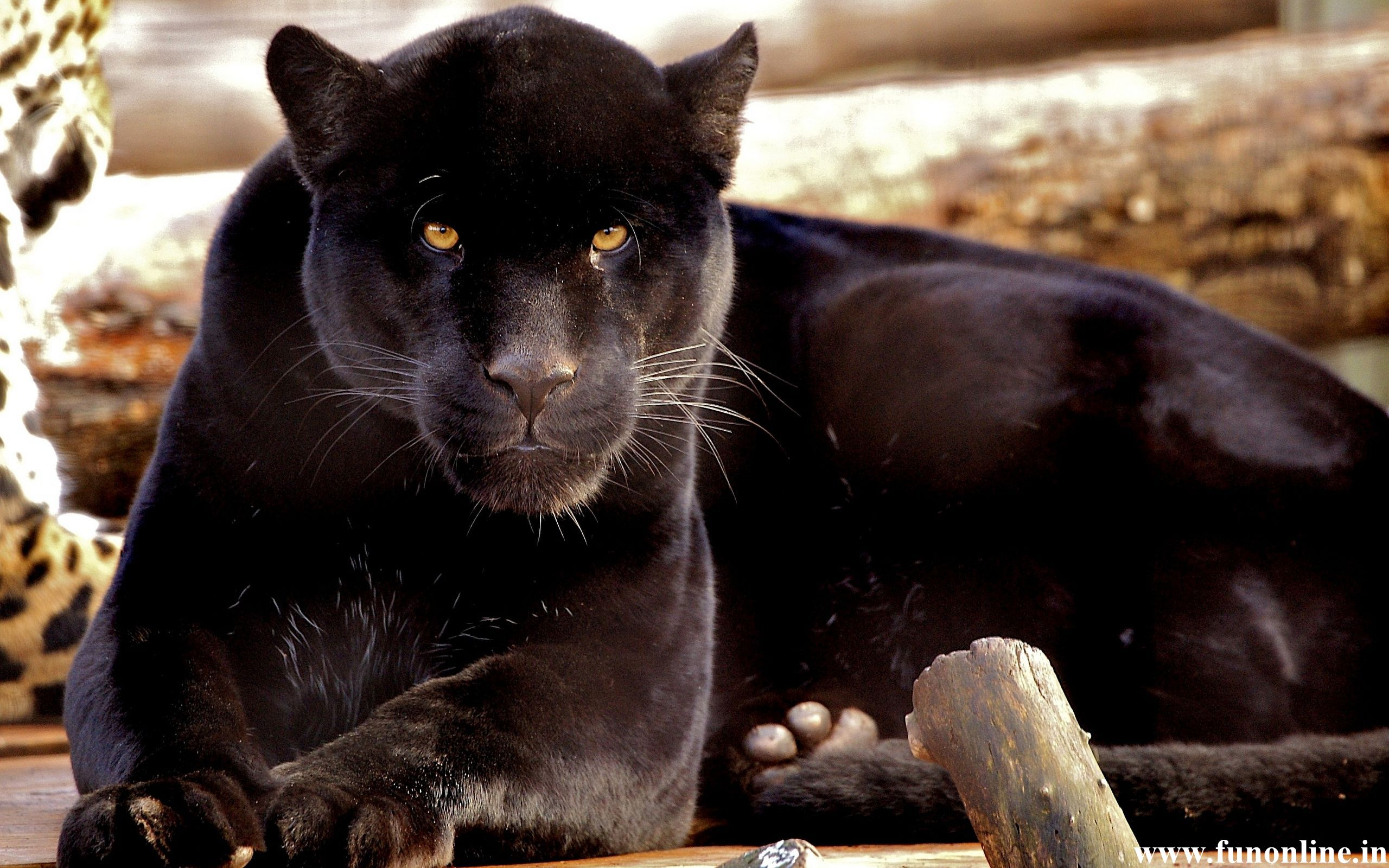 Panther Wallpapers Download Black Panthers HD Wallpaper 2560x1600