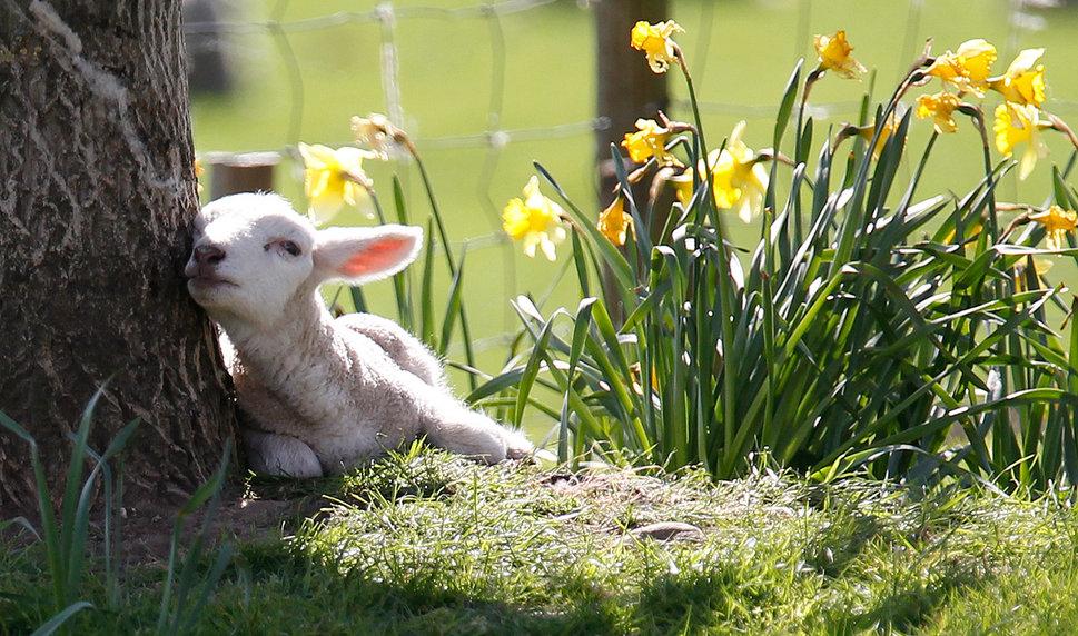 969x572 Spring Lamb Wallpaper