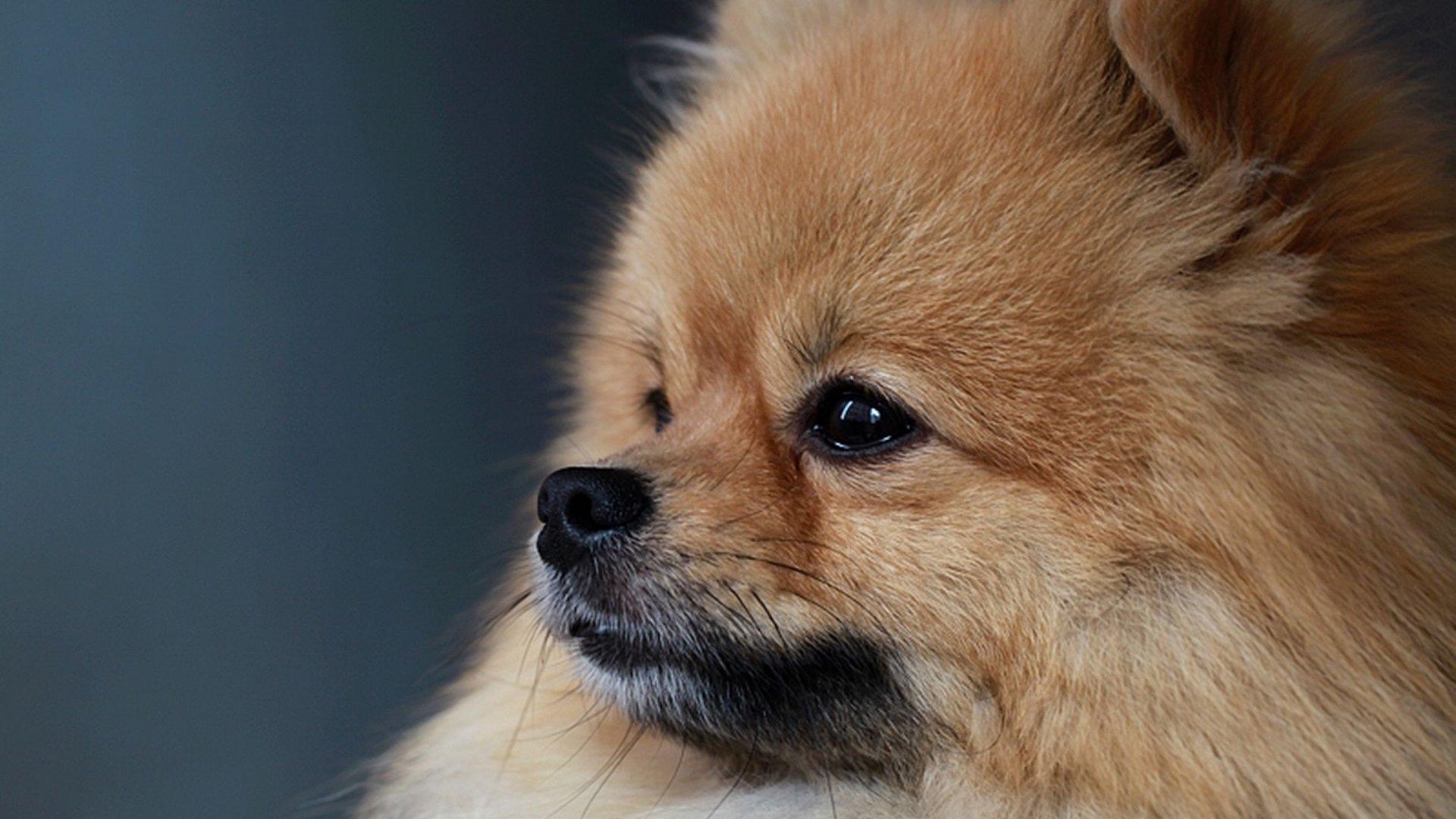 free pomeranian puppy wallpaper - photo #12