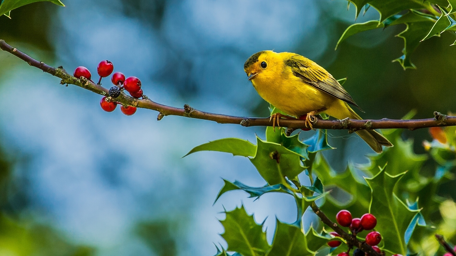 Yellow sparrow bird on red berry tree HD Wallpapers Rocks 1920x1080