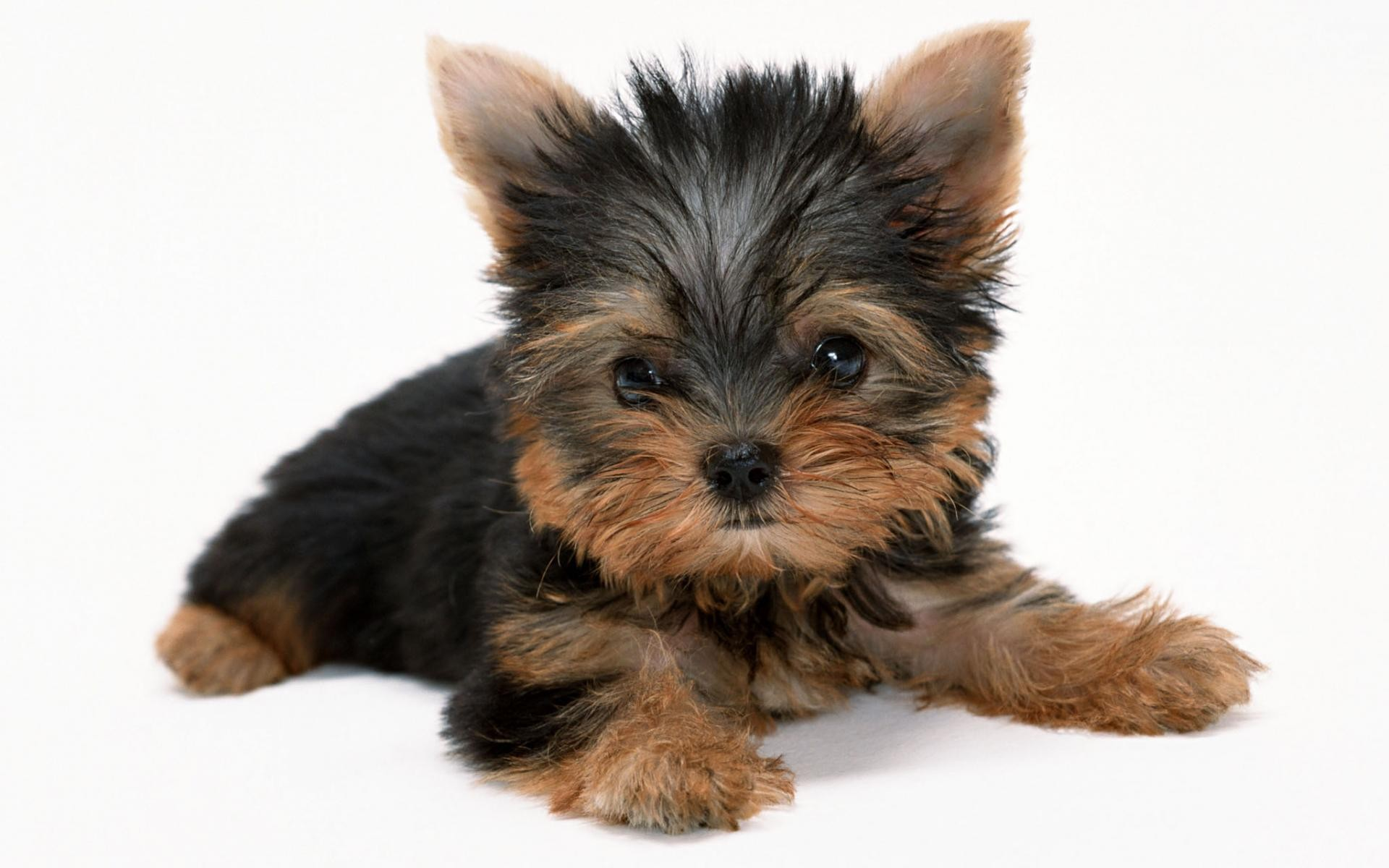 Cute Yorkie Puppies   Wallpaper High Definition High Quality 1920x1200