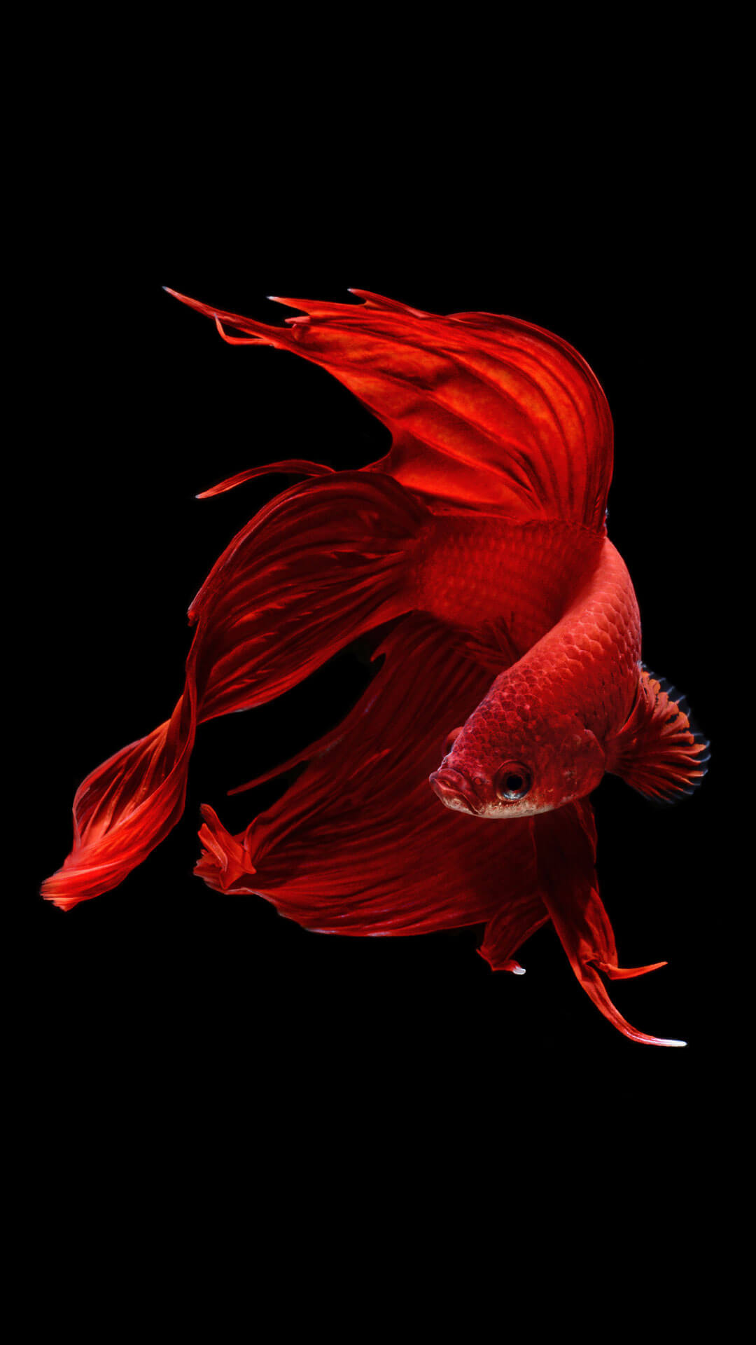 Betta Fish iPhone 6 And iPhone 6s Wallpaper iPhone 5 iPhone 6 1080x1920