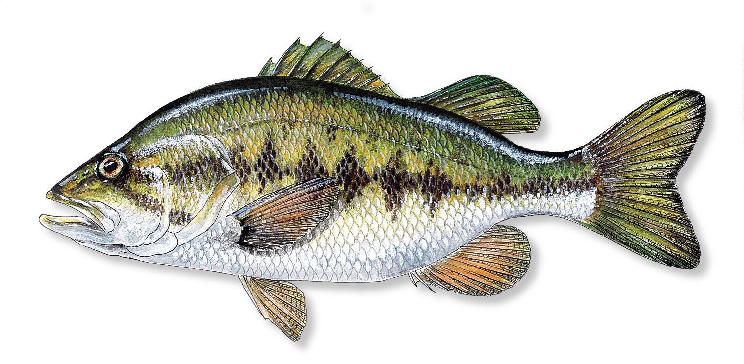 Largemouth bass fishing wallpaper wallpapersafari for Pictures of bass fish
