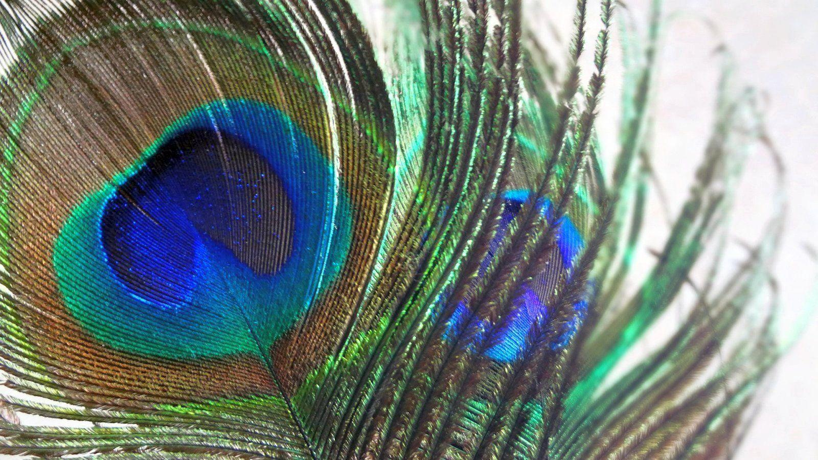 Wallpapers Of Peacock Feathers HD 2016 1600x900