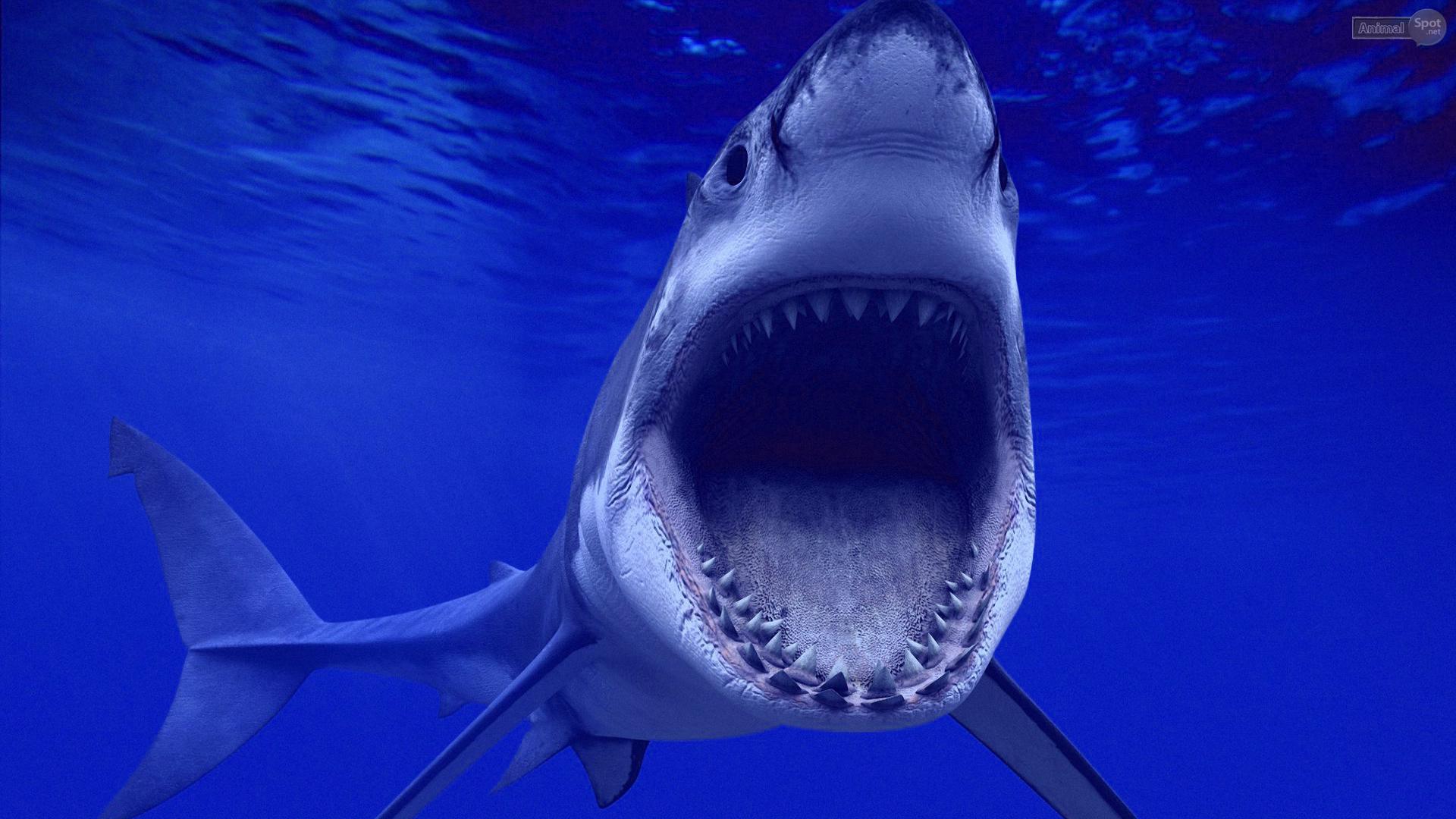 47 Free Great White Shark Wallpaper On Wallpapersafari