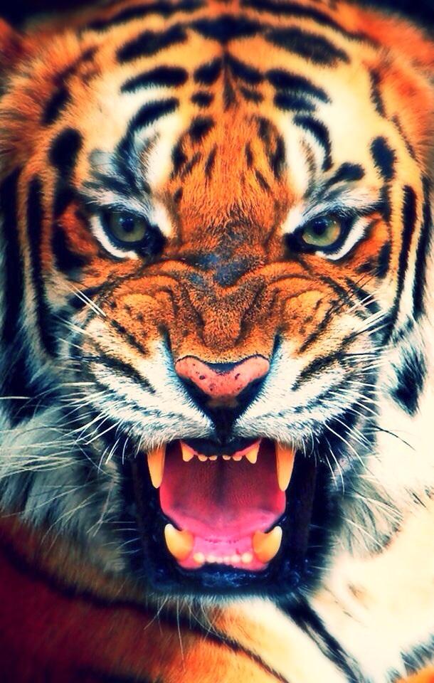 Free Download Iphone 4 Tiger Wallpaper Iimgurcom 610x960 For Your