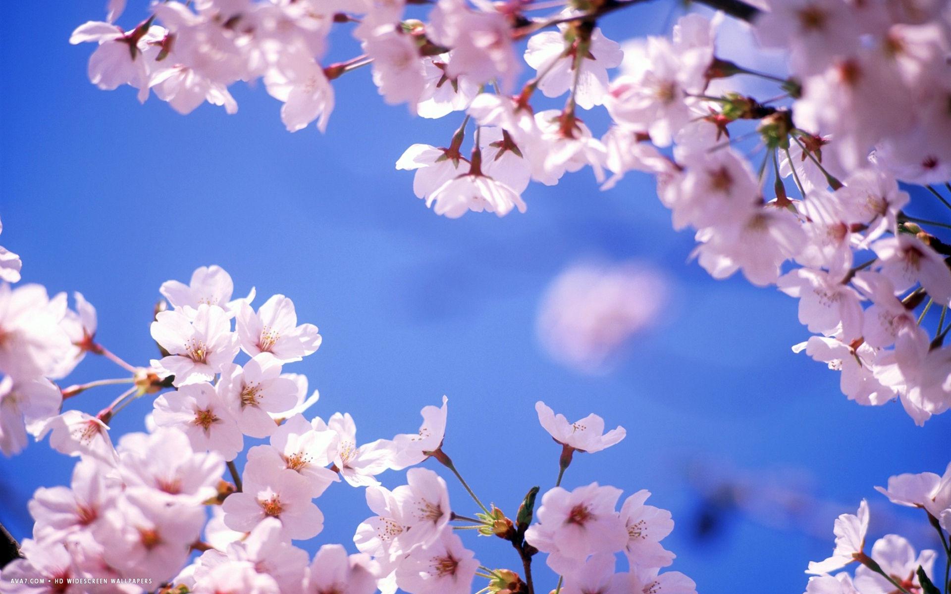 Free Download Cherry Blossom Flower Hd Widescreen Wallpaper Flowers Backgrounds 1920x1200 For Your Desktop Mobile Tablet Explore 39 Flower Desktop Wallpaper Widescreen Widescreen Flower Garden Wallpapers Hd Flower Desktop