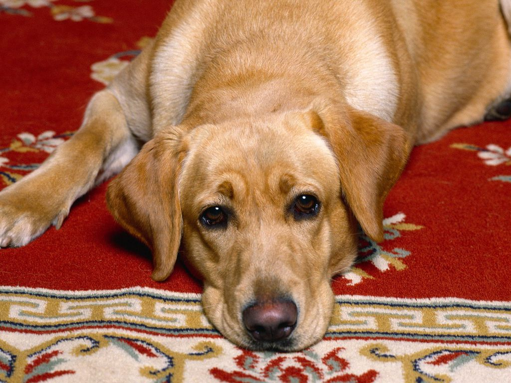 Yellow Lab wallpaper 17jpg 1024x768