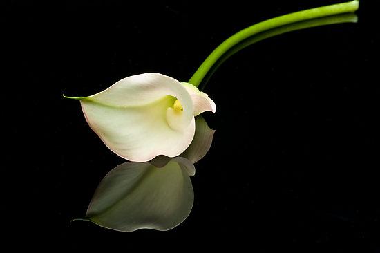 arum lily flower hd wallpaper