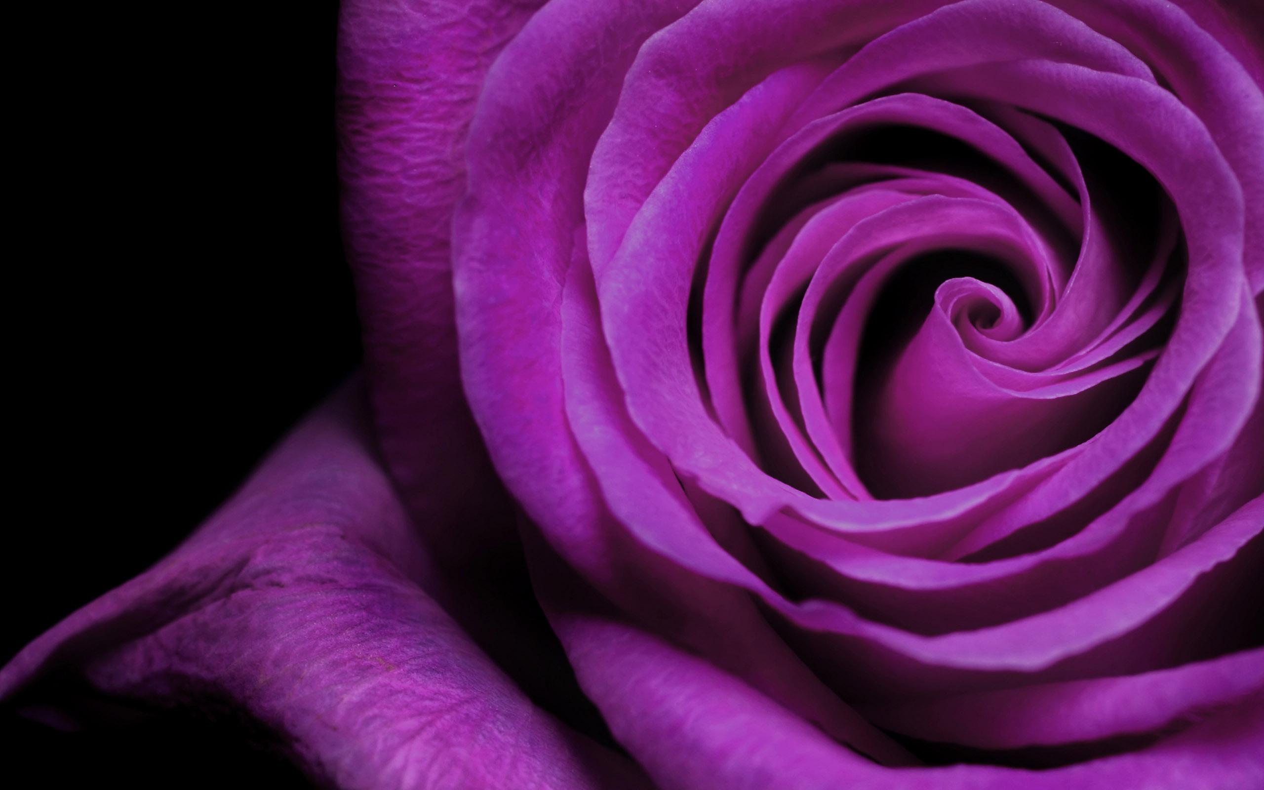 Purple Wallpaper Purple Rose Wallpaper 2560x1600