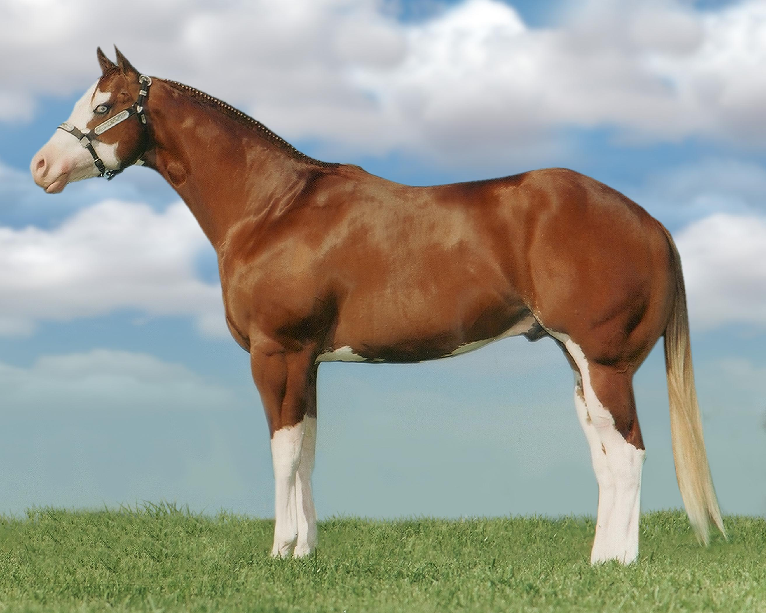 American Paint Horse Wallpapers HD Download 2625x2100