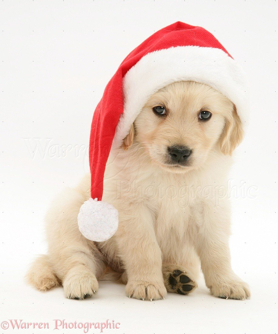 Golden Retriever Christmas Wallpaper