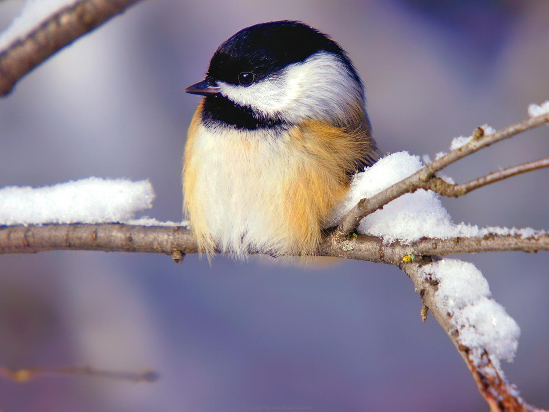 Bird Desktop Background Winter Birds Desktop Wallpaper 1440x1080