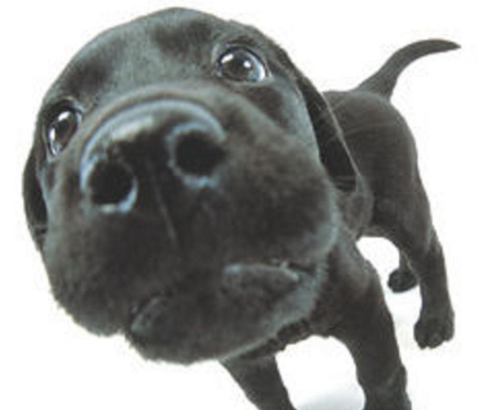 wallpapercomphotolabrador puppy desktop wallpaper40html 960x800