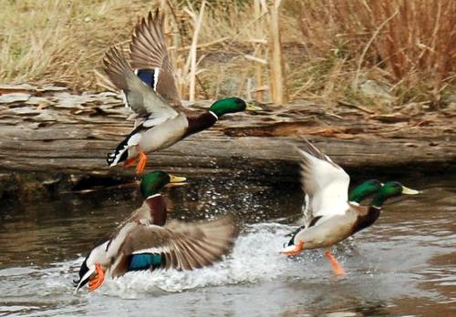 Duck Hunting Wallpaper 500x348