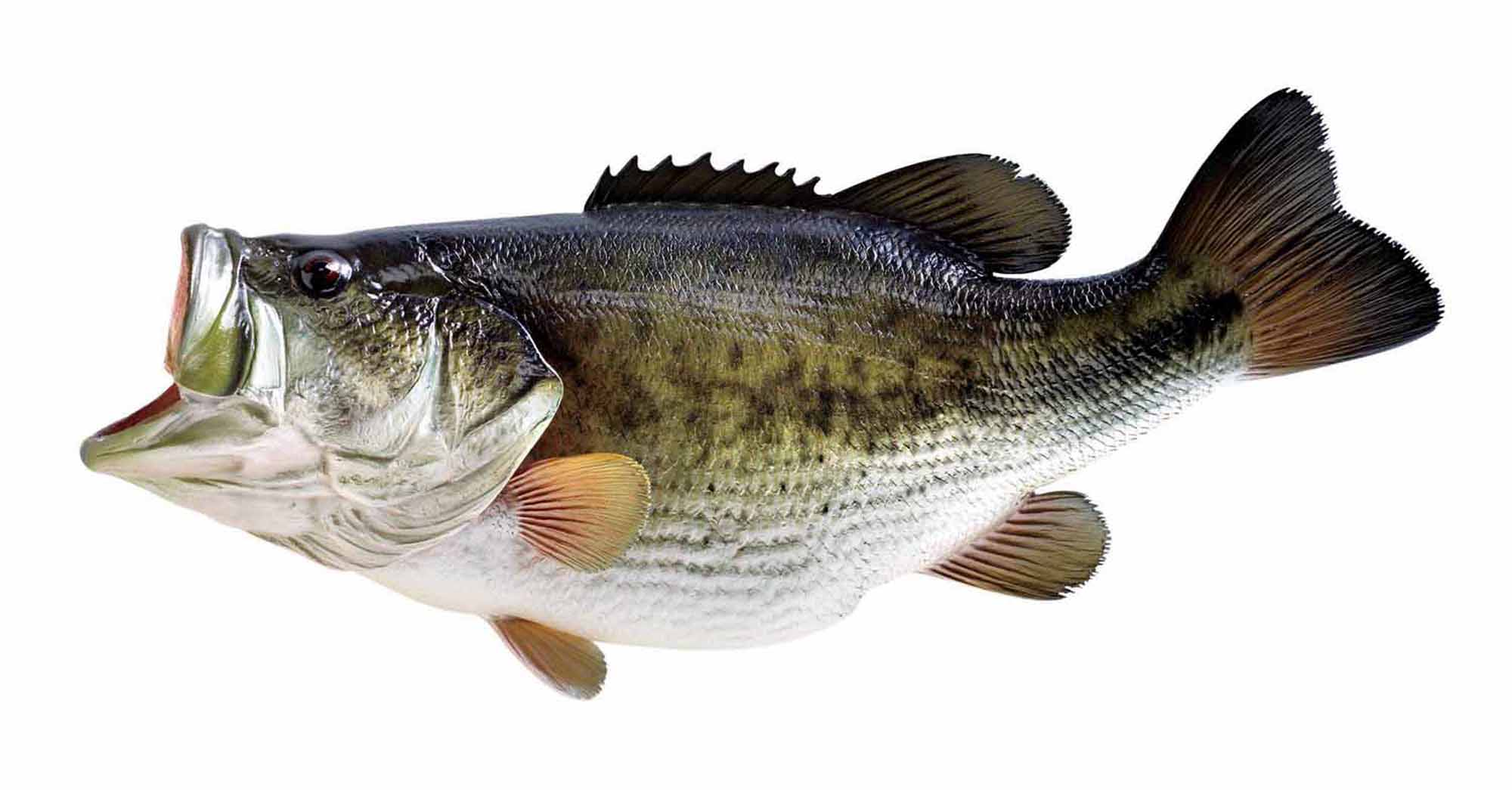 Largemouth Bass Large mouth bass cake ideas 2000x1045