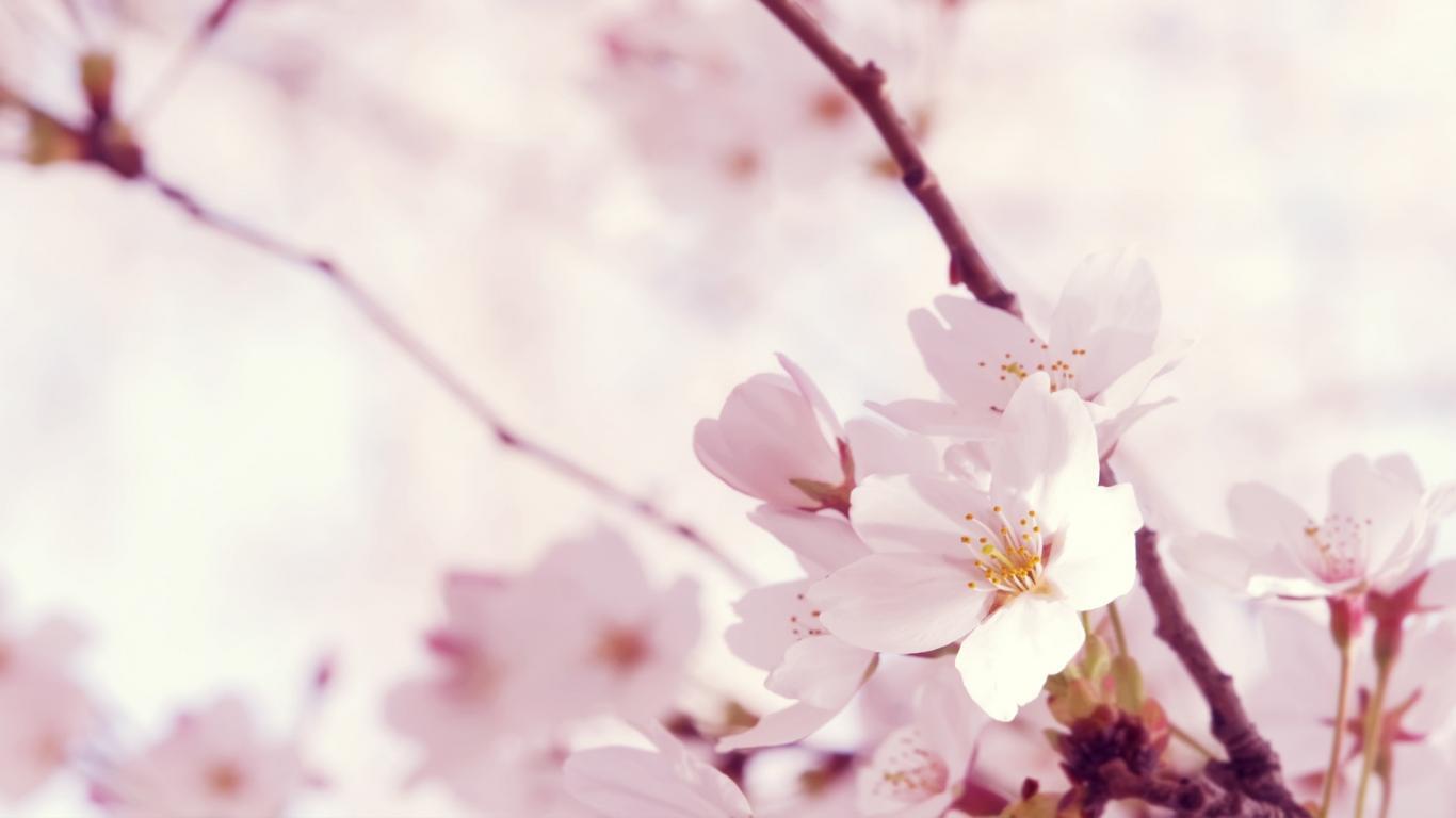 Pretty Pink Flowers 1366x768