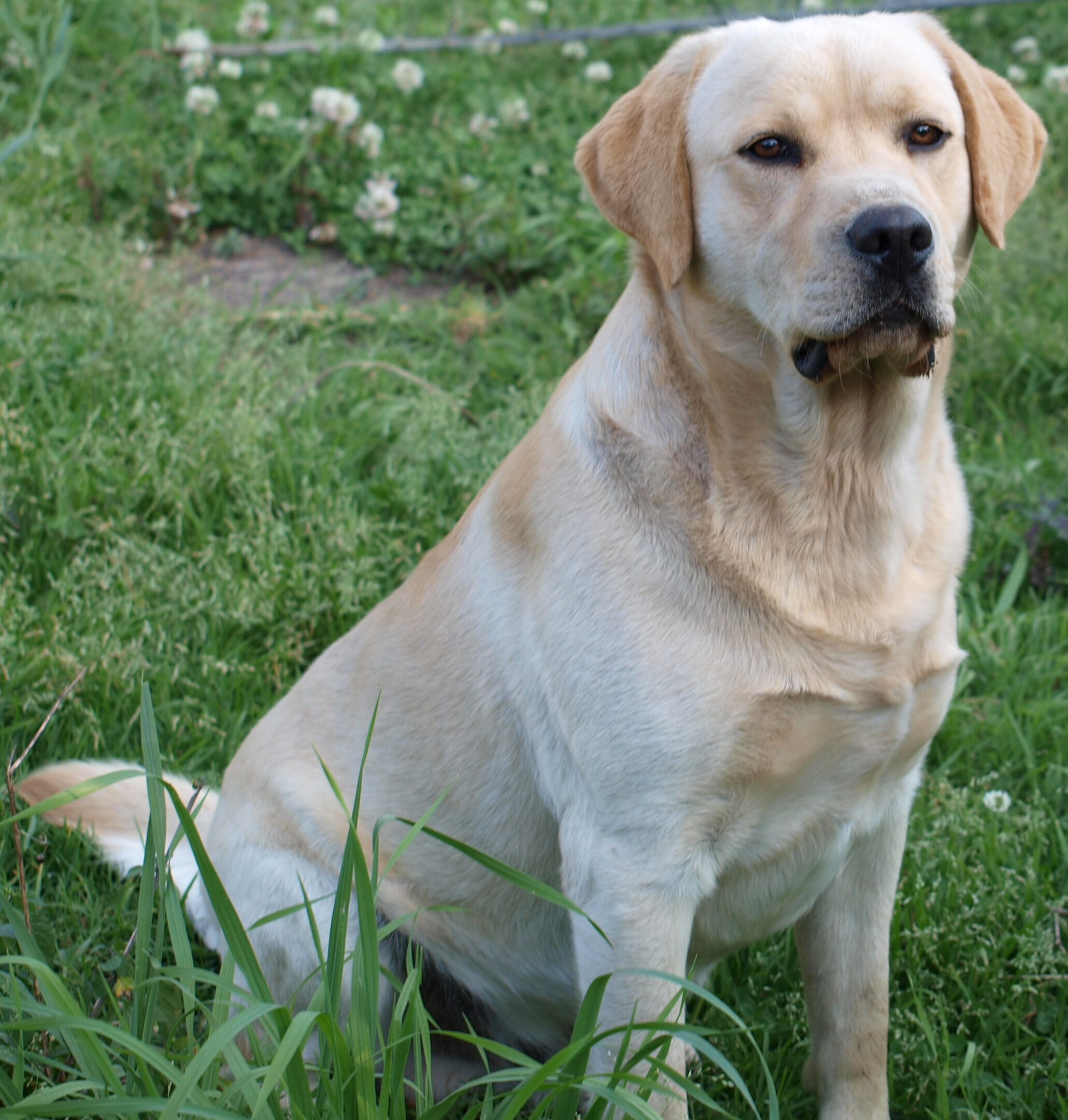 Description Labrador retrieverjpg 2061x2161