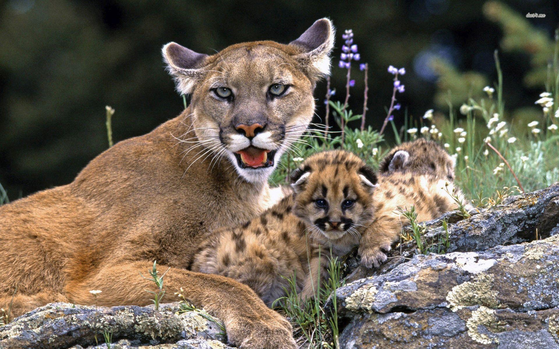 Free Download Design Desktop Young Mountain Lion Images Desktop