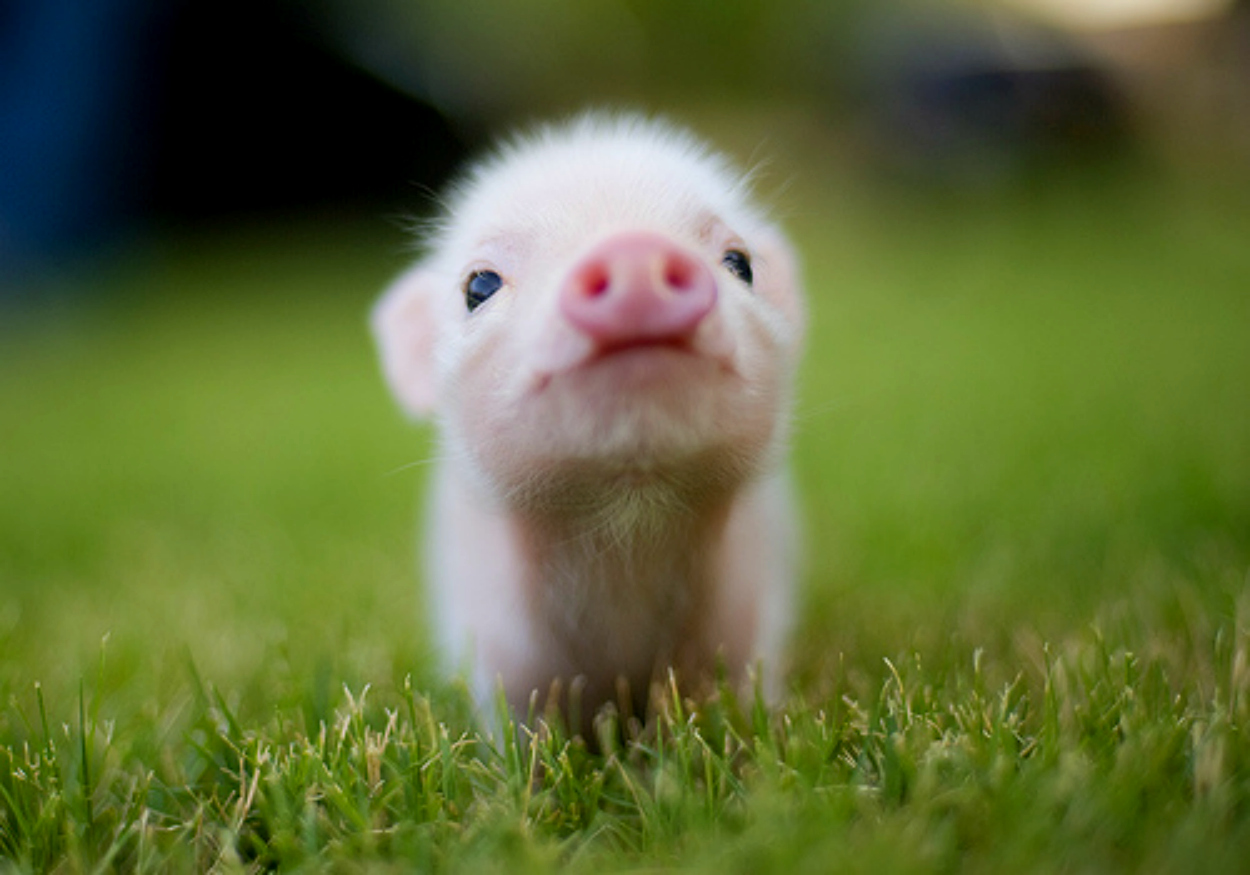 high definition lovely baby animal wallpapers beautiful pig baby 1250x875