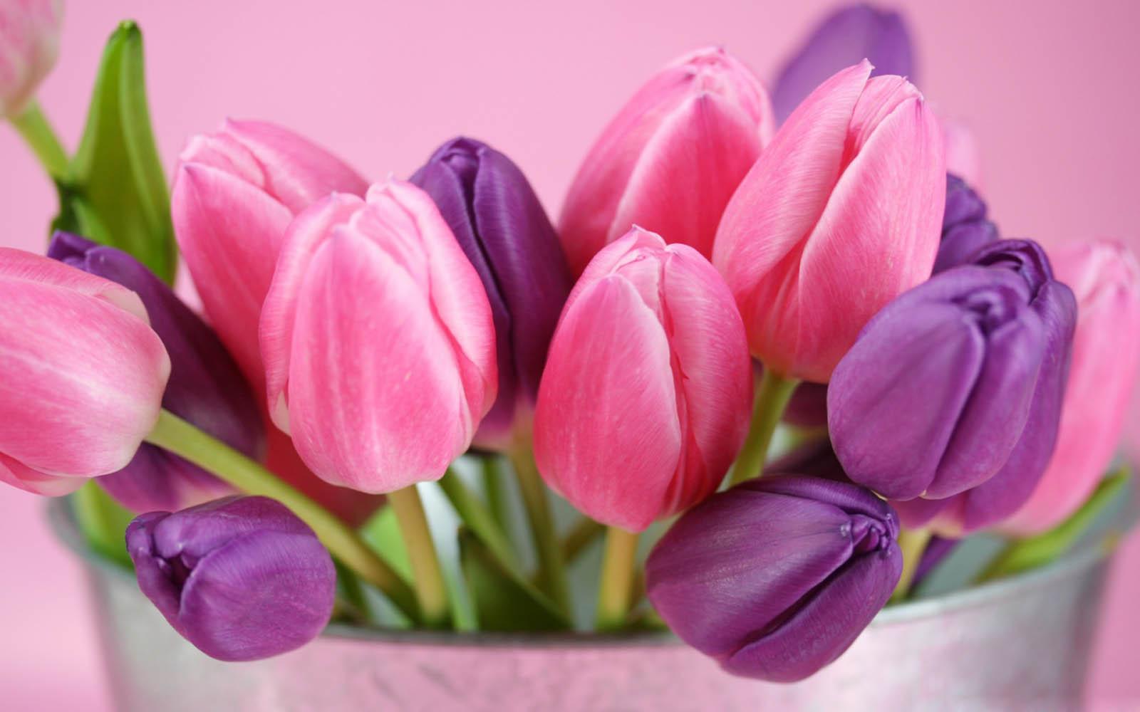 wallpapers Purple Tulips Flowers Wallpapers 1600x1000