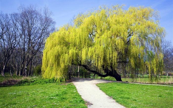 Netherlands weeping willow wallpaper 700x437