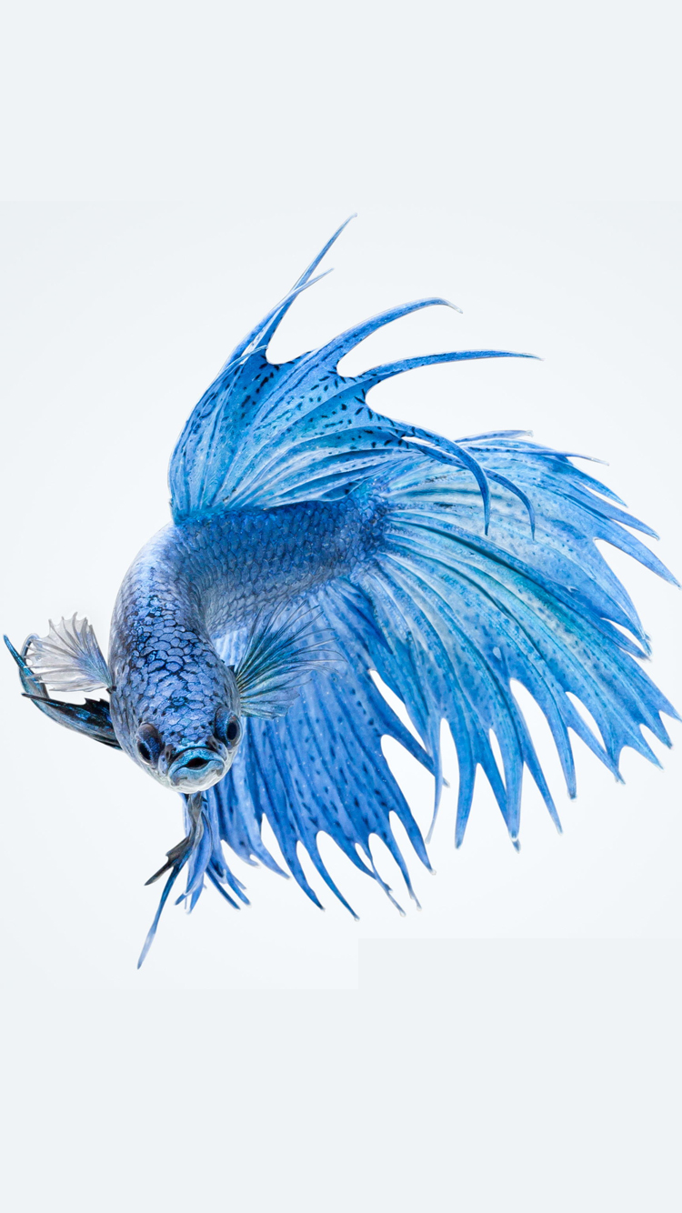 Apple IPhone 6s Wallpaper With Blue Betta Fish In White Background 750x1334