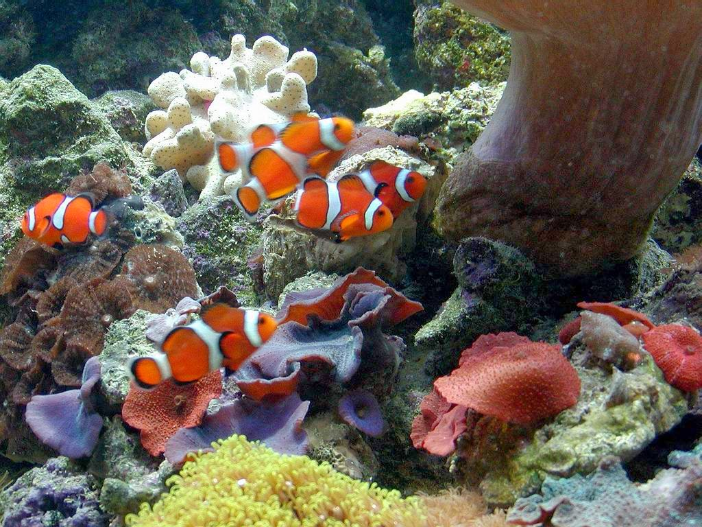 Desktop HD Wallpapers Downloads Clown Fish HD Wallpapers 1024x768