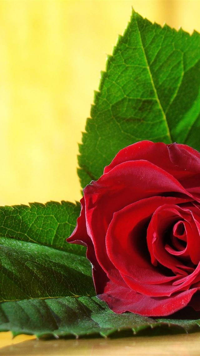 Red Rose iPhone 5 Wallpapers Hd 640x1136 Iphone 5 Wallpaper 640x1136