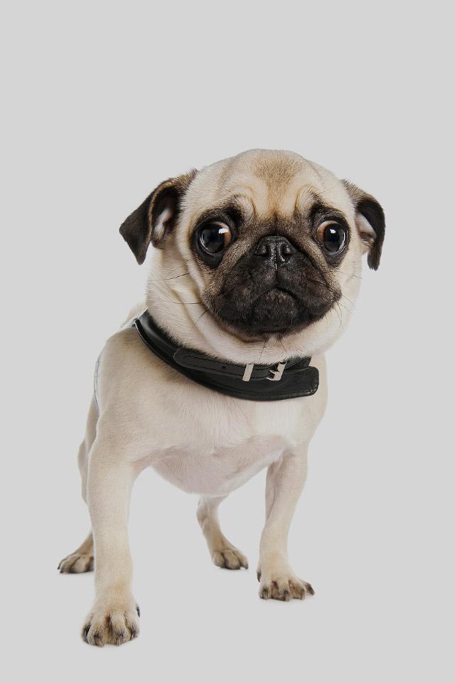 Cute Pug Dog iPhone 4s Wallpaper Download iPhone Wallpapers iPad 640x960