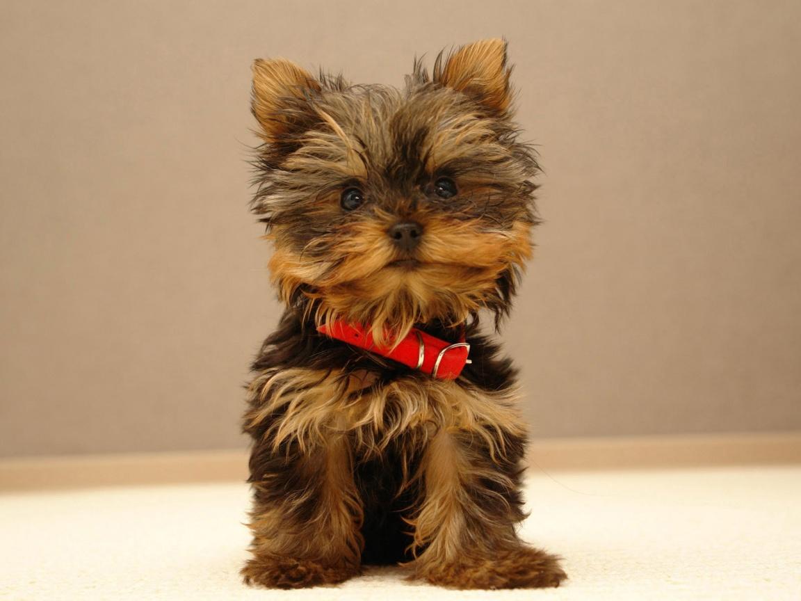 definition wallpapercomphotofree puppy desktop wallpapers16html 1152x864