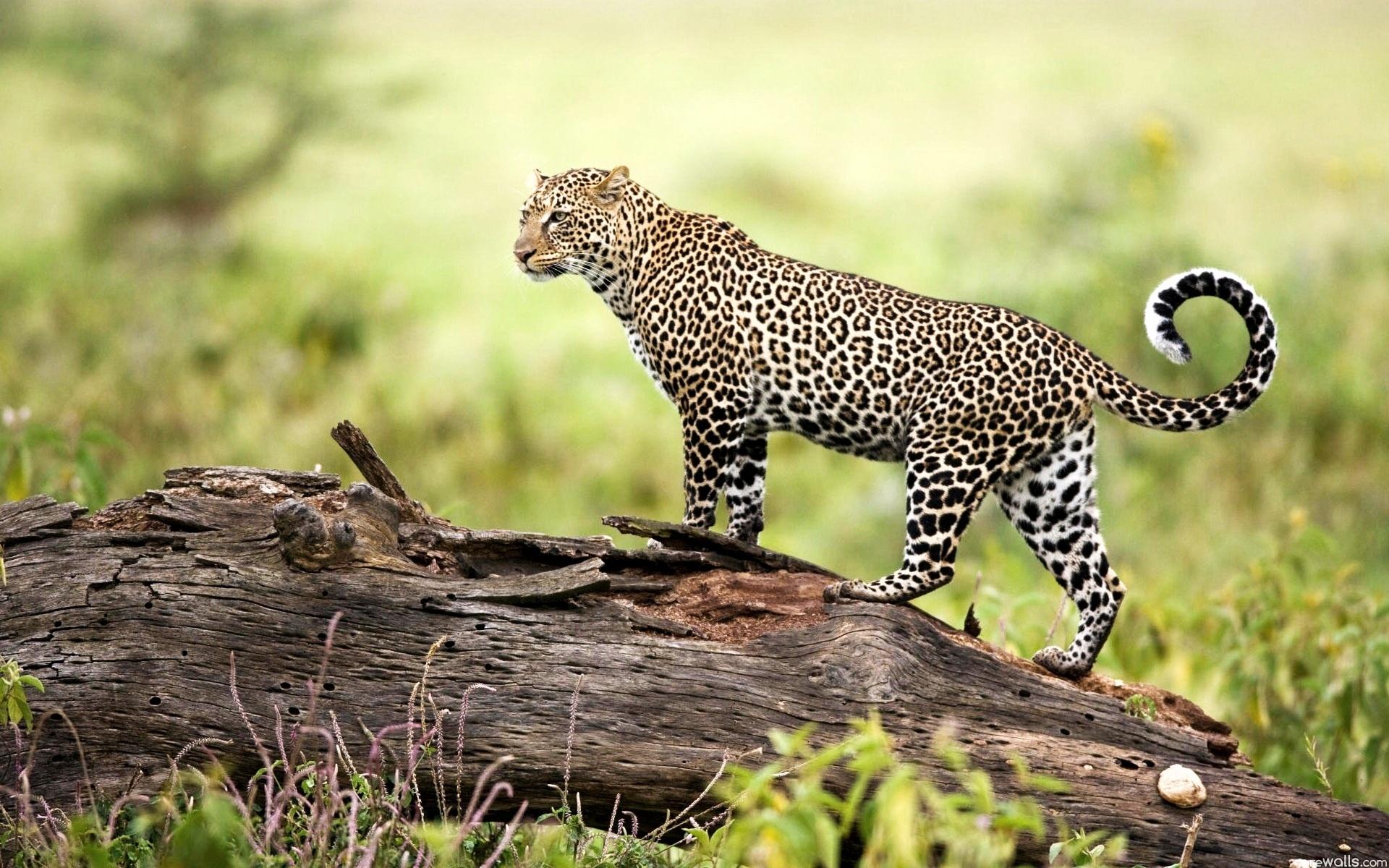 Leopard Wildlife Wallpapers HD Wallpapers 1920x1200