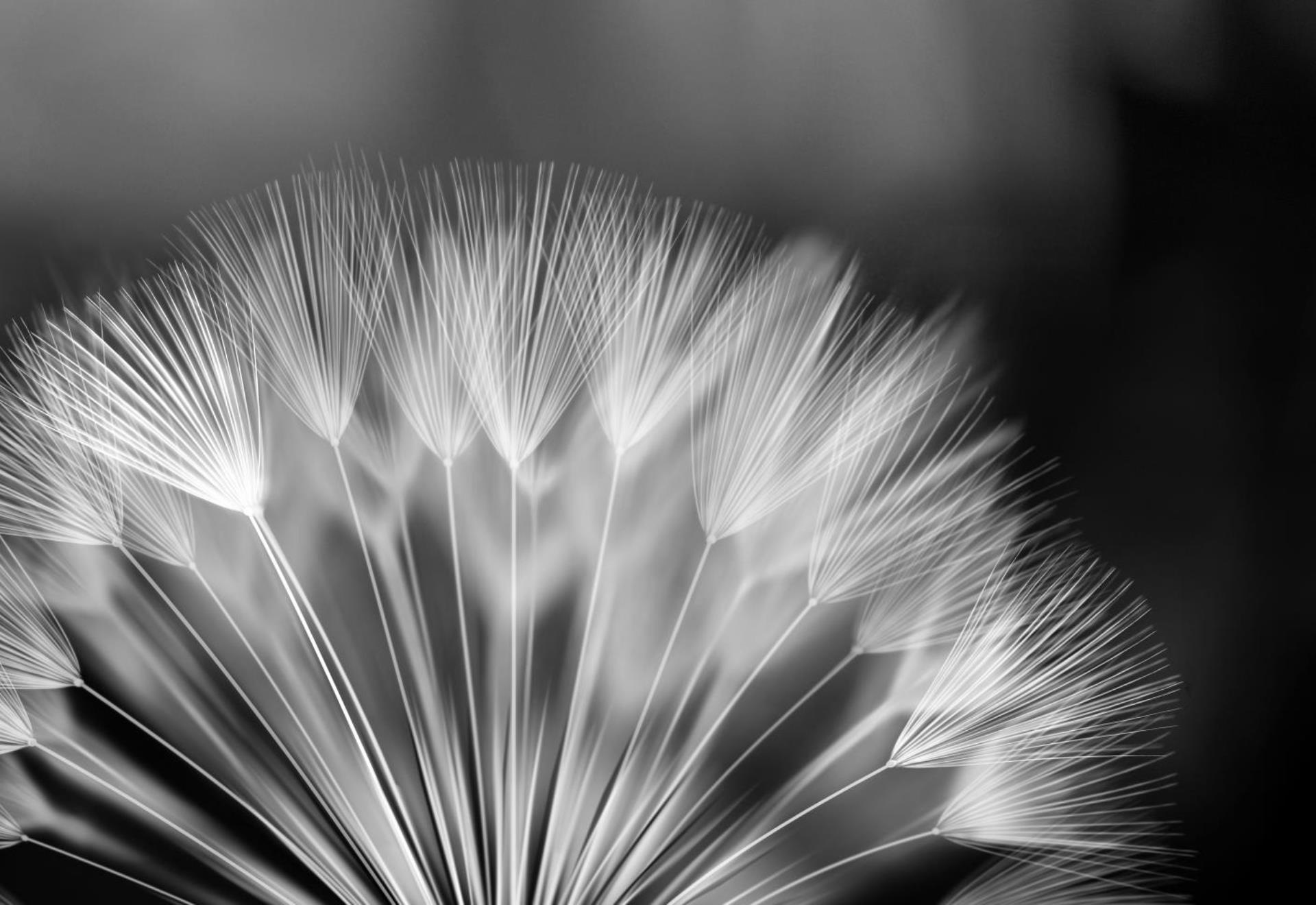 Black and White Dandelion Photo Wallpaper Wall Mural CN 292P eBay 1920x1320