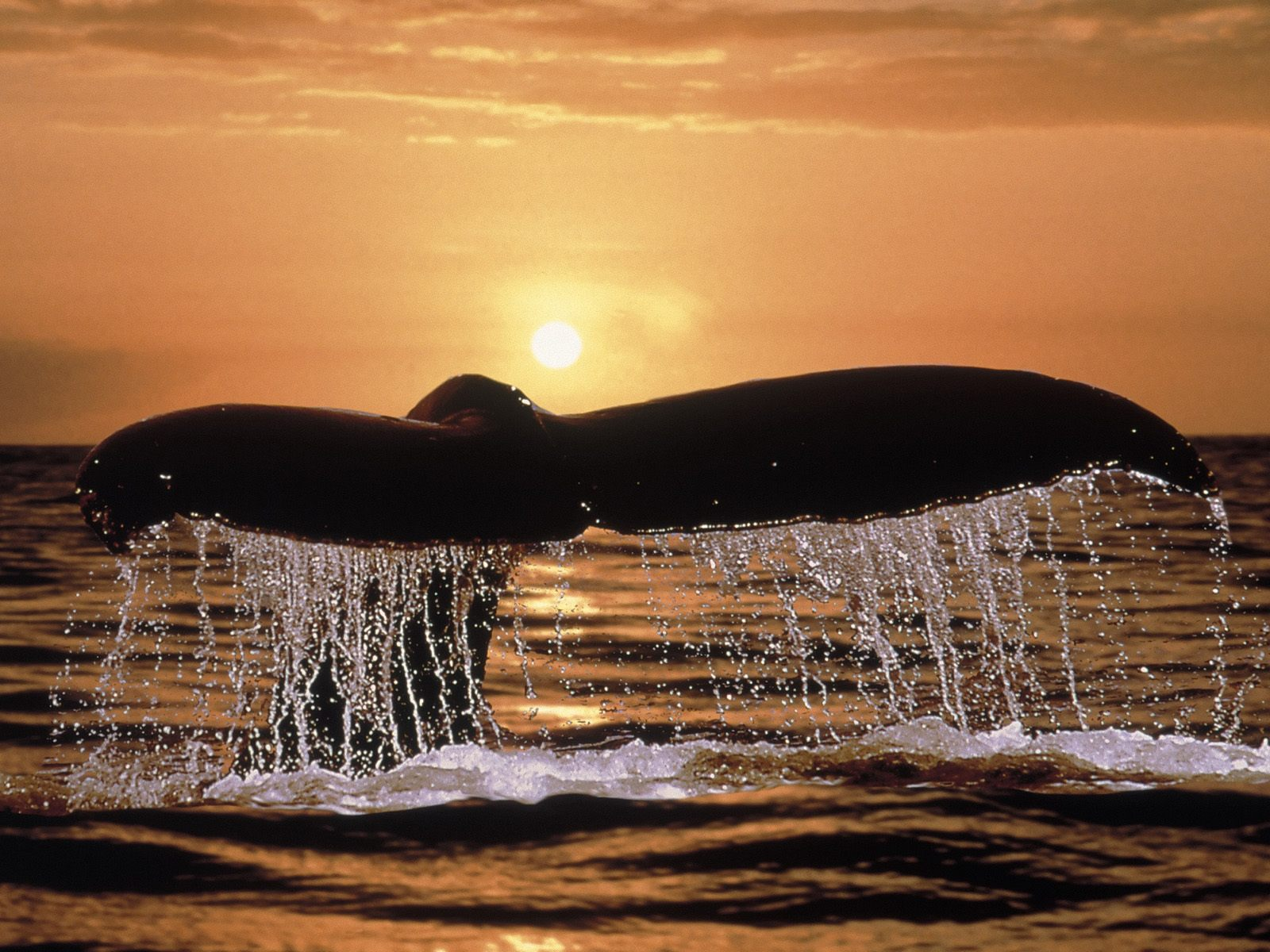 Humpback Whale Tail   Ocean Life Photography Desktop Wallpapers 1600x1200