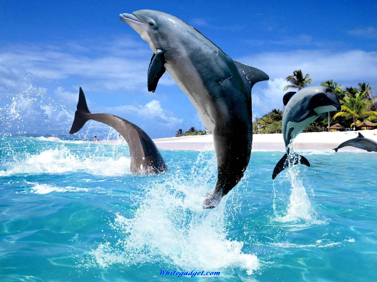 Dolphins wallpapers high definition wallpapers cool nature - 108536d1339569297 Dolphin Wallpaper Dolphin Wallpaper Images Jpg