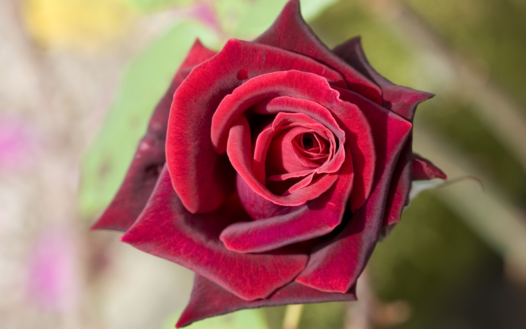 Deep Red Rose Wallpapers HD Wallpapers 1680x1050
