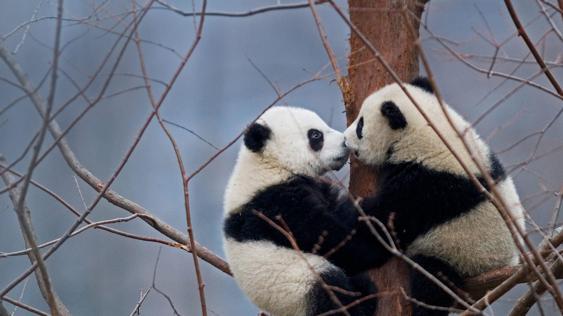 Kissing Pandas Bing Wallpaper Download 1920x1080