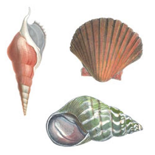 Seashells Wallies Wallpaper Border   Wallpaper Border 525x525