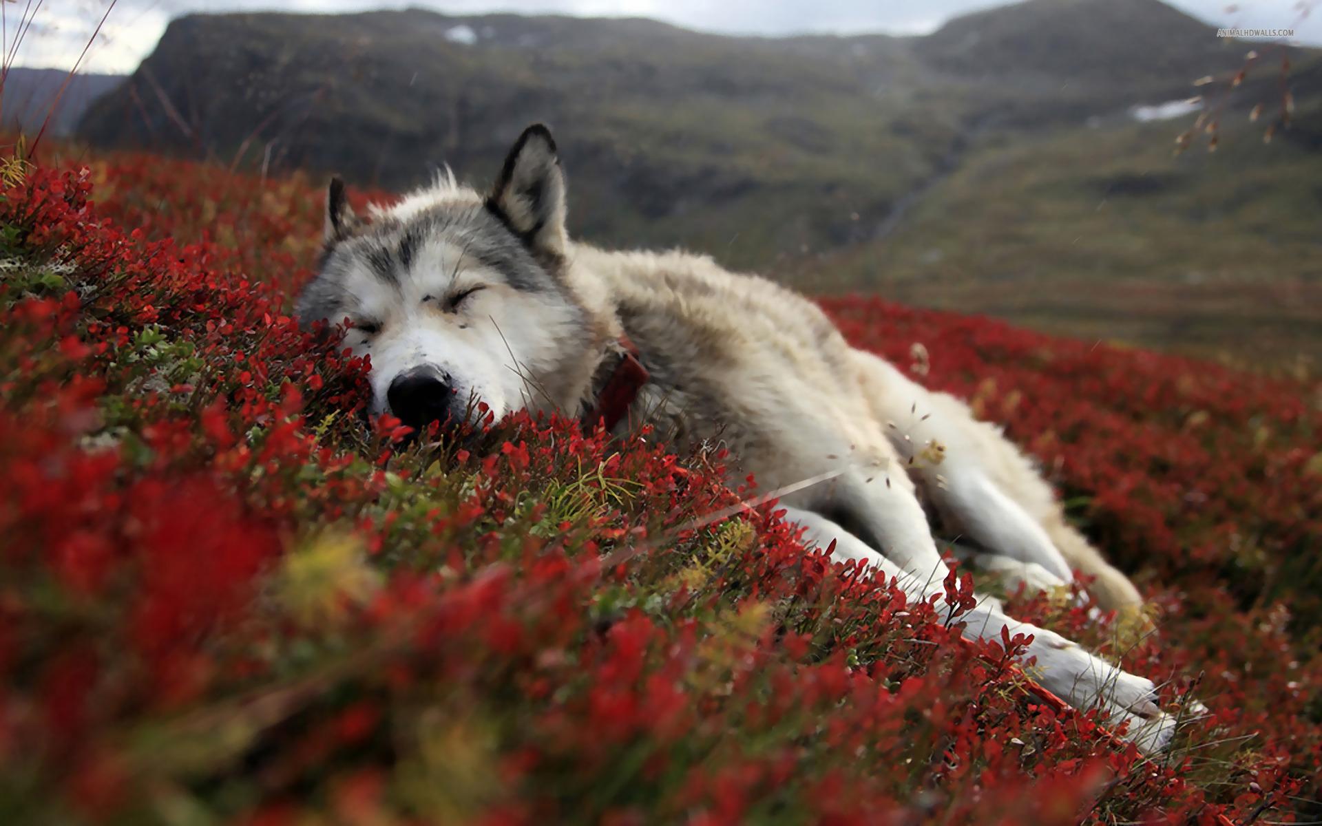 71 Beautiful Wolf Wallpaper On Wallpapersafari