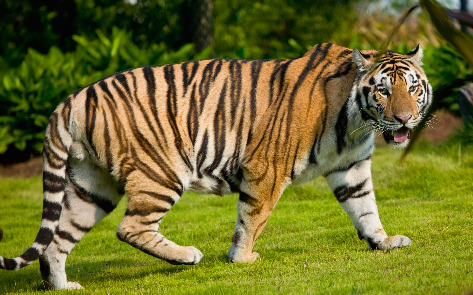 Widescreen Tiger Wallpapers HD Wallpapers 1920x1200