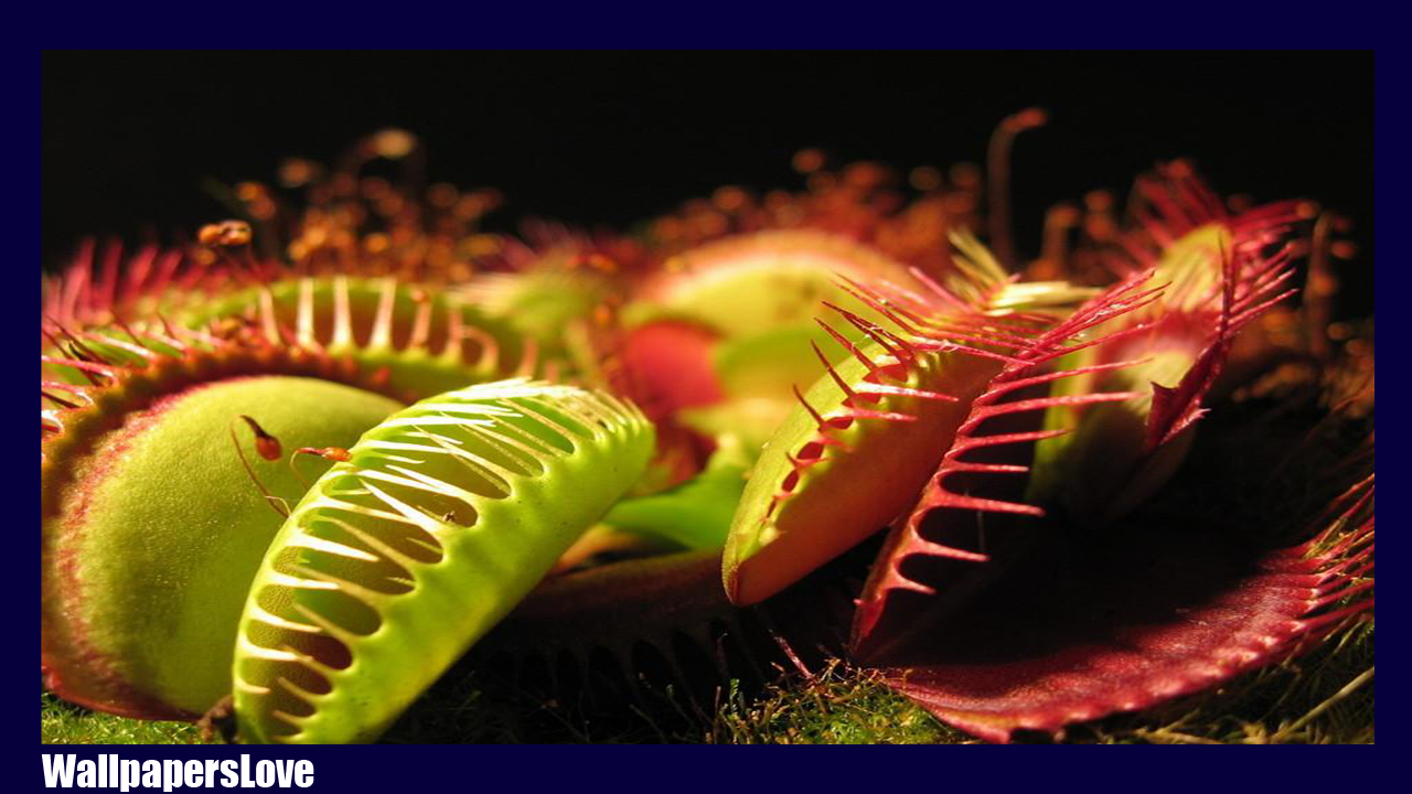 Free download Venus flytrap Wallpapers