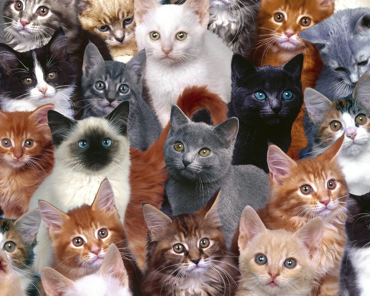 Cats wallpaper   Cats Wallpaper 5194935 1280x1024