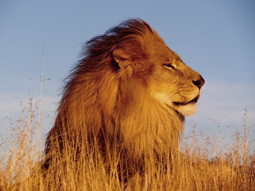 lion face wallpaper - photo #32
