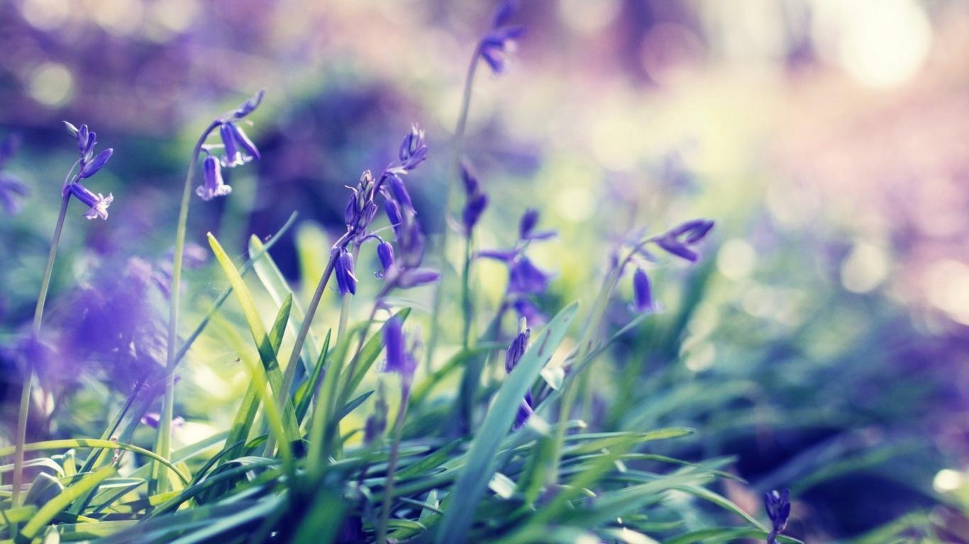 1366x768 Purple Spring Flowers Desktop PC And Mac Wallpaper