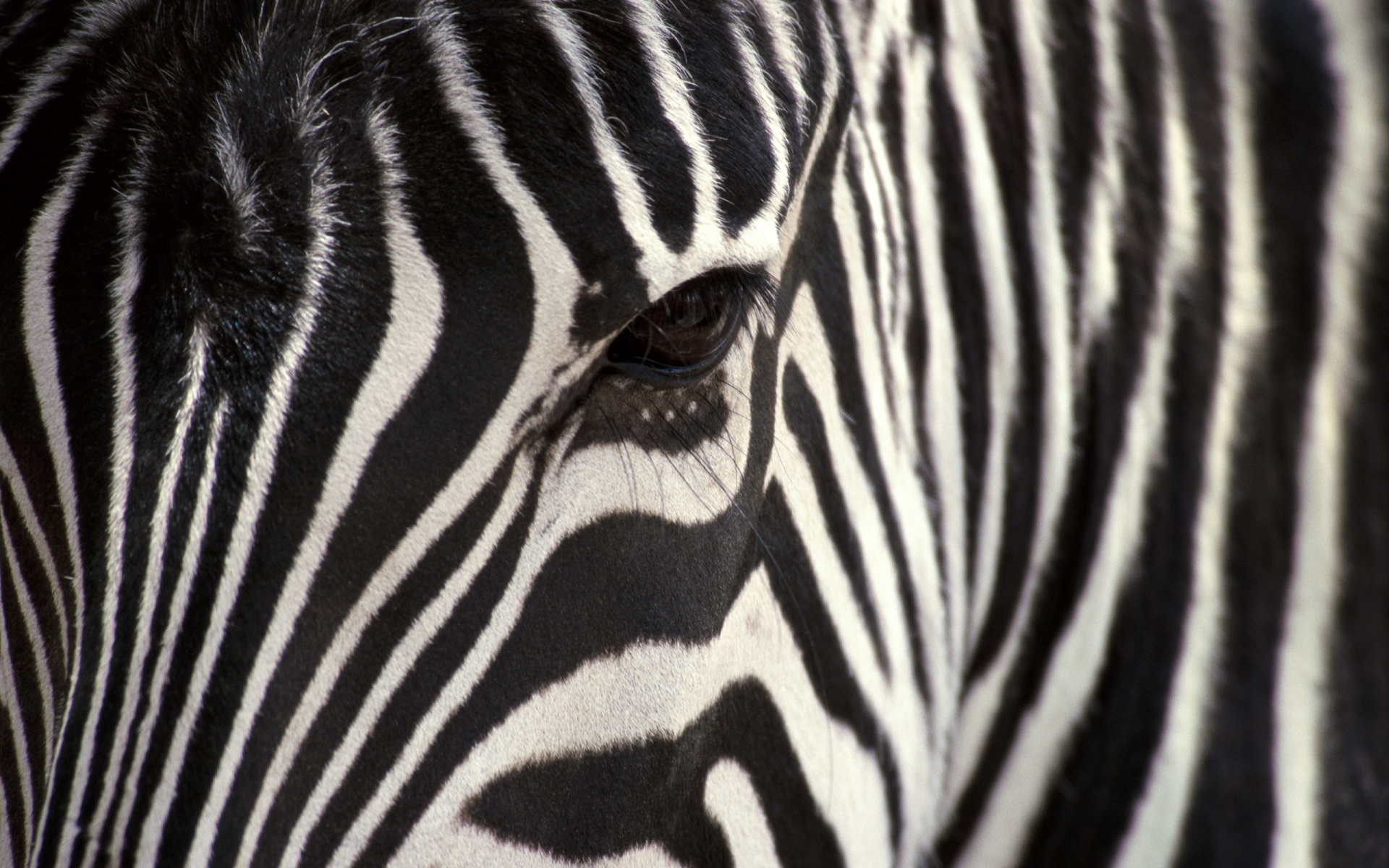 Zebra widescreen wallpaper Animal print desktop downloadable printable 1920x1200